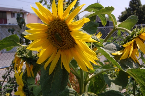 Cool 5 headed sunflower