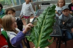 The biggest chard leaf ever!