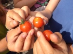 Cherry tomatoes- the 1st ones!