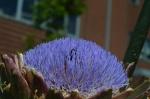Bee burrowing in artichoke flower