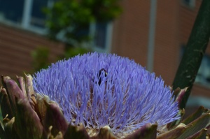 Bee burrowing in artichoke flower